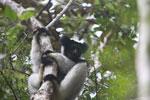 Indri in Perinet [madagascar_1185]