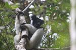 Indri in Perinet [madagascar_1187]