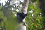 Indri in Perinet [madagascar_1198]
