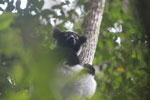 Indri in Perinet [madagascar_1200]