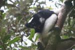 Indri in Perinet [madagascar_1204]