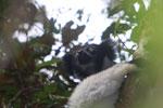 Indri in Perinet [madagascar_1208]