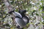 Indri in Perinet [madagascar_1210]
