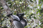 Indri in Perinet [madagascar_1212]