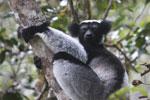 Indri in Perinet [madagascar_1213]