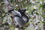 Indri in Perinet [madagascar_1215]