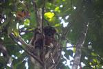 Eastern woolly lemur [madagascar_1229]
