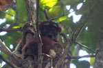 Eastern woolly lemur [madagascar_1230]
