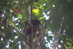 Eastern woolly lemur [madagascar_1231]