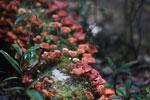 Red fungi [madagascar_1250]