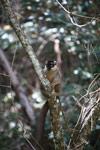 Common Brown Lemur (Eulemur fulvus) [madagascar_1262]