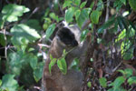 Common Brown Lemur (Eulemur fulvus) [madagascar_1270]