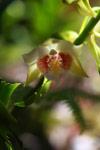 Gastrorchis lutea orchid [madagascar_1278]