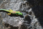 Day gecko attempting to eat a toxic caterpillar [madagascar_1304]