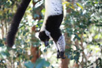 Black-and-white Ruffed Lemur hanging in a tree [madagascar_1343]