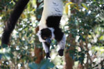Black-and-white Ruffed Lemur hanging in a tree [madagascar_1345]