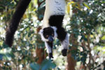 Black-and-white Ruffed Lemur hanging in a tree [madagascar_1346]