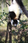 Black-and-white Ruffed Lemur hanging in a tree [madagascar_1364]