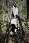 Black-and-white Ruffed Lemur hanging in a tree [madagascar_1369]