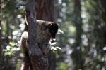 Common Brown Lemur (Eulemur fulvus) [madagascar_1418]
