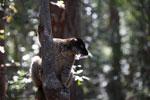 Common Brown Lemur (Eulemur fulvus) [madagascar_1419]