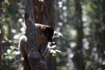Common Brown Lemur (Eulemur fulvus) [madagascar_1420]