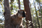 Female Common Brown Lemur (Eulemur fulvus)