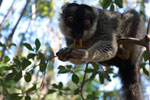 Male Common Brown Lemur (Eulemur fulvus)