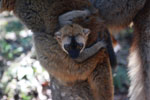 Baby brown lemur [madagascar_1452]