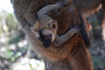Baby brown lemur [madagascar_1453]