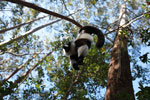 Black-and-white Ruffed Lemur hanging in a tree [madagascar_1456]