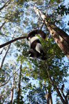 Black-and-white Ruffed Lemur hanging in a tree [madagascar_1461]