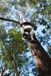 Black-and-white Ruffed Lemur hanging in a tree [madagascar_1464]