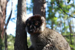 Male Common Brown Lemur (Eulemur fulvus) [madagascar_1465]