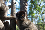 Male Common Brown Lemur (Eulemur fulvus) [madagascar_1466]