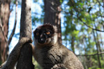 Male Common Brown Lemur (Eulemur fulvus) [madagascar_1468]