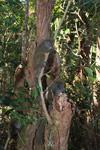 Eastern Lesser Bamboo Lemurs (Hapalemur griseus)