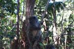 Gray Bamboo Lemur (Hapalemur griseus) [madagascar_1483]