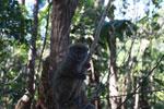 Eastern Lesser Bamboo Lemur (Hapalemur griseus) [madagascar_1489]