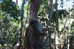 Eastern Lesser Bamboo Lemur (Hapalemur griseus) [madagascar_1492]