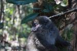 Eastern Lesser Bamboo Lemur (Hapalemur griseus) [madagascar_1494]