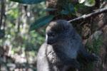 Eastern Lesser Bamboo Lemur (Hapalemur griseus) [madagascar_1495]