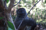 Eastern Lesser Bamboo Lemur (Hapalemur griseus) [madagascar_1498]