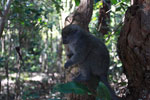 Eastern Lesser Bamboo Lemur (Hapalemur griseus) [madagascar_1503]