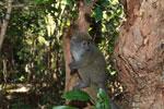 Eastern Lesser Bamboo Lemur (Hapalemur griseus) [madagascar_1504]