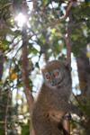 Eastern Lesser Bamboo Lemur (Hapalemur griseus) [madagascar_1505]