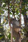 Eastern Lesser Bamboo Lemur (Hapalemur griseus) [madagascar_1506]