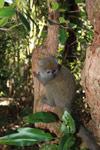 Eastern Lesser Bamboo Lemur (Hapalemur griseus) [madagascar_1507]