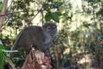 Eastern Lesser Bamboo Lemur (Hapalemur griseus) [madagascar_1508]