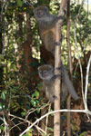 Eastern Lesser Bamboo Lemur (Hapalemur griseus) [madagascar_1510]